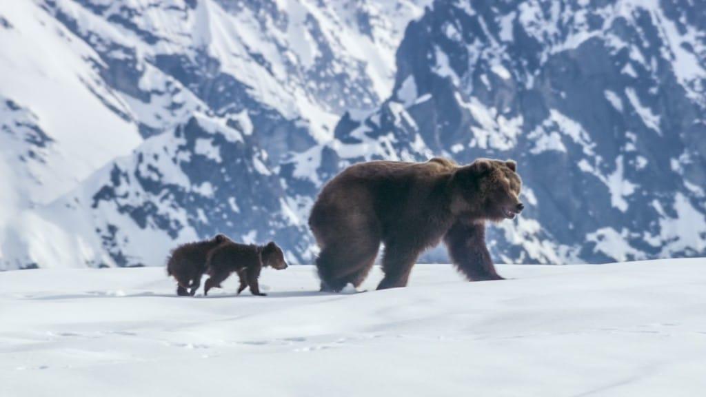 Bears 1024x576 Disneynature Bears Trailer Don't Miss the Heartwarming Sneak Peek