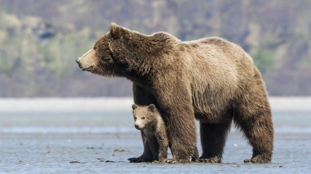 Disney Bear Movie 1024x576 Disneynature Bears Trailer Don't Miss the Heartwarming Sneak Peek