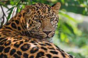 Leopard-300x200