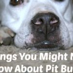 Things You Might Not Know About Pit Bulls