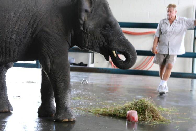 Asain Elephant Eating at Giving Asian elephant a bath at Ringling Center for Elephant Conservation